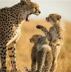 Sorry mum leopard